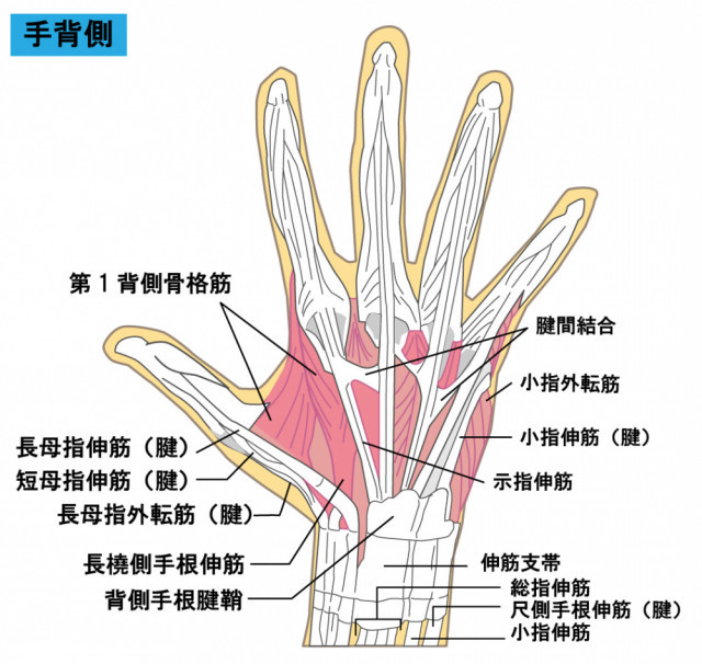 手の筋肉のイラスト